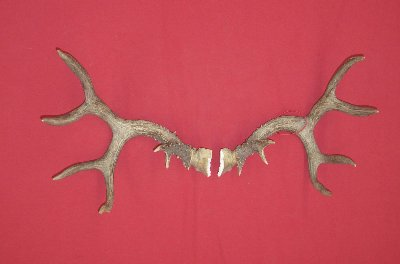 Picture of this lot Black Tail Deer Tropy Antlers Sets Pairs