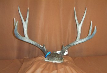 Picture of this lot Mule Deer Trophy Antlers Sets Pairs