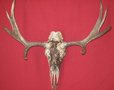 Picture of this lot Moose Trophy Antler Sets Pairs