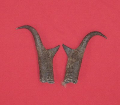 Picture of this lot Antelope Horns