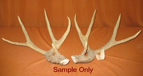 Picture of this lot Mule Deer Rattling Antlers