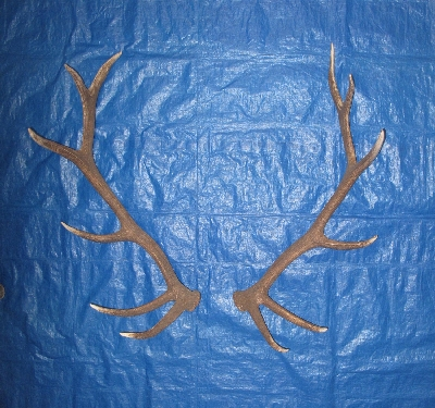 Picture of this lot Elk Antler Sides