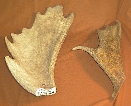 Picture of this lot Moose Antler Palms