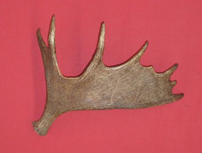 Picture of this lot Moose Antler Sides