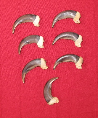 Picture of this lot Grizzly Bear Claws