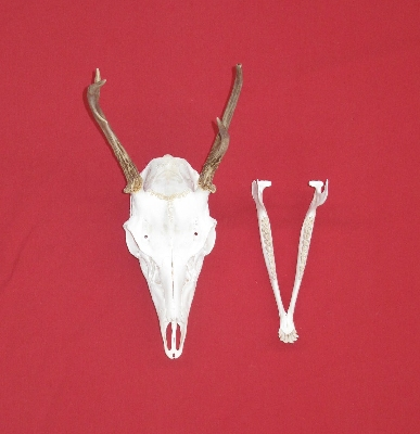 Picture of this lot Mule Deer Skulls