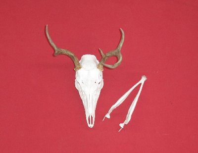 Picture of this lot Whitetail Deer Skulls