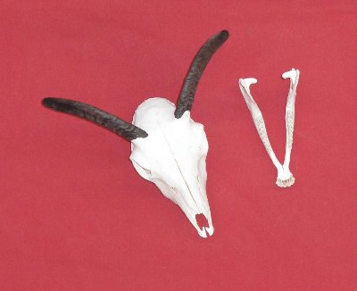 Picture of this lot Goat Skulls, Domestic