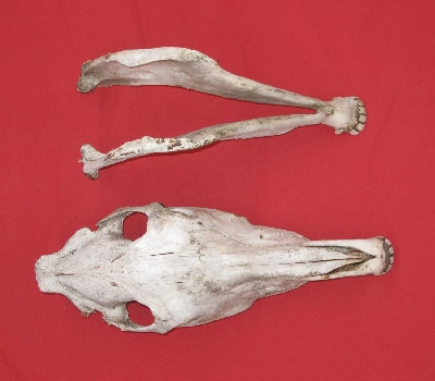 Picture of this lot Horse Skulls