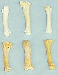 Picture of this lot Black Bear Bones - atlas, vertebrae, scapula, foot bones