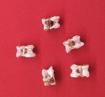 Picture of this lot Whitetail Deer Bones - vertebrae, astragalus, leg foot bones