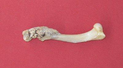 Picture of this lot Coyote Bones - atlas, vertebrae, scapula, foot leg bones