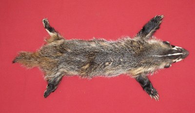 Picture of this lot Tanned Taxidermy Badger Hides, Furs, Pelts, Skins