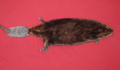Picture of this lot Tanned Taxidermy Beaver Hides, Furs, Pelts, Skins