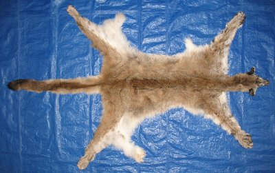 Picture of this lot Tanned Cougar Mountain Lion Hides, Pelts, Skins
