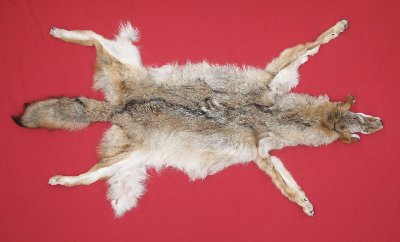 Picture of this lot Tanned Coyote Hides, Pelts, Skins