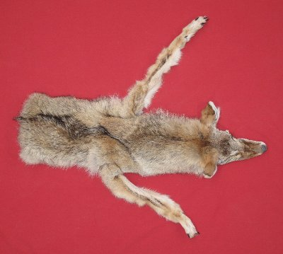 Picture of this lot Tanned Taxidermy Coyote Hides, Pelts, Skins
