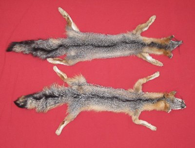 Picture of this lot Tanned Taxidermy Grey Fox Hides, Furs, Pelts, Skins