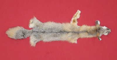 Picture of this lot Tanned Kit Swift Fox Hides, Furs, Pelts, Skins