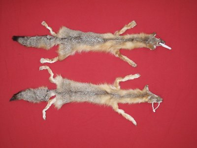 Picture of this lot Tanned Taxidermy Kit Swift Fox Hides, Furs, Pelts, Skins