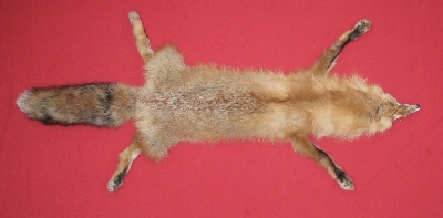 Picture of this lot Tanned Taxidermy Red Fox Hides, Furs, Pelts, Skins