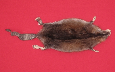Picture of this lot Tanned Taxidermy Muskrat Hides, Furs, Pelts, Skins