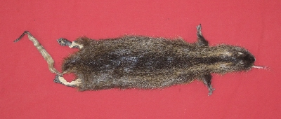 Picture of this lot Tanned Taxidermy Nutria Hides, Furs, Pelts, Skins