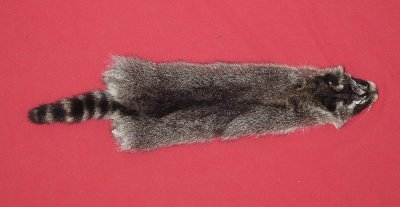 Picture of this lot Tanned Raccoon Hides, Pelts, Skins