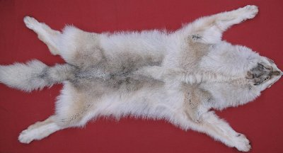 Picture of this lot Tanned Taxidermy Wolf Hides, Pelts, Skins
