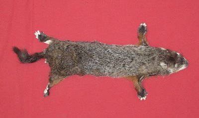 Picture of this lot Tanned Taxidermy Woodchuck Hides, Furs, Pelts, Skins