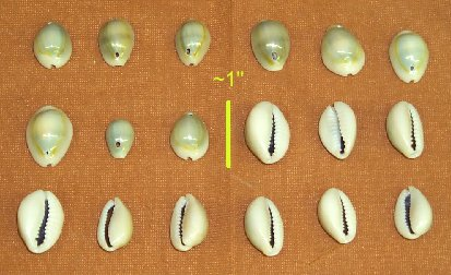 Picture of this lot Shells - Money Ringtop Purple Top Cowrie Dentalium