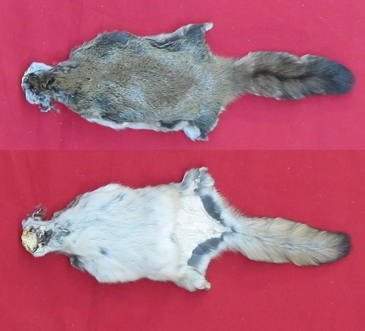ALL w// head and tail 10 Wholesale Squirrel pelts tanned wild rodent leather ppd