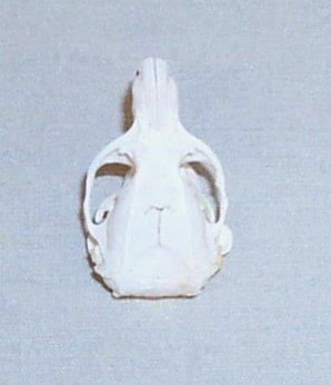 Plains pocket gopher skull