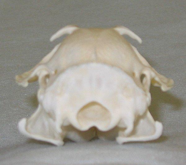 Prairie Dog Skull For Sale