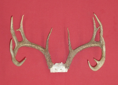 Picture of this lot Whitetail Deer Trophy Antler Sets Pairs