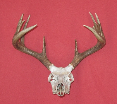 181213-G Medium Matched Pair of Whitetail Deer Antlers Lot No