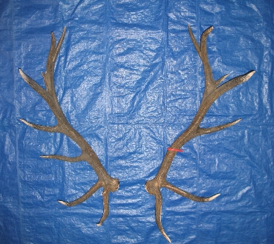 Picture of this lot Elk Trophy Antler Sets Pairs