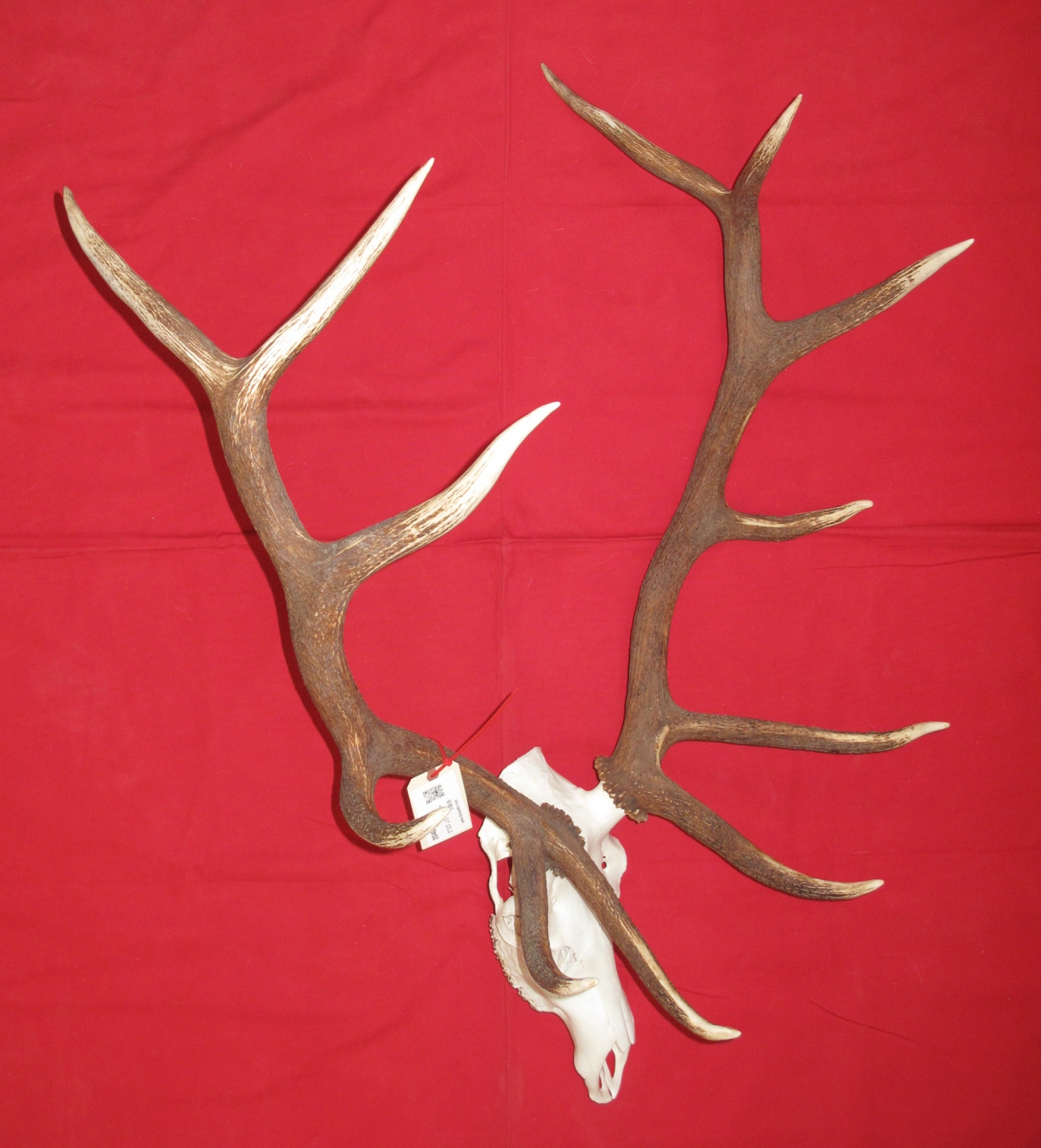 Picture of elk skull with antlers