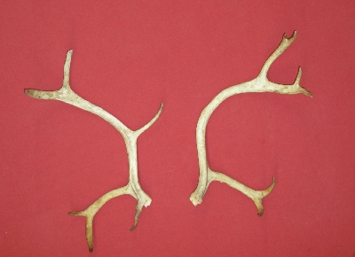 Picture of this lot Antlers - Caribou
