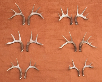Sample picture of white tail deer rattling antlers