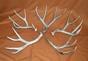 Picture of this lot Mule Deer Antler Sides
