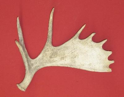 Moose Hides, Antlers for sale by hideandfur com