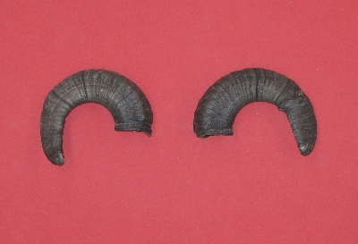 Picture of this lot Domestic Sheep Ram Horns