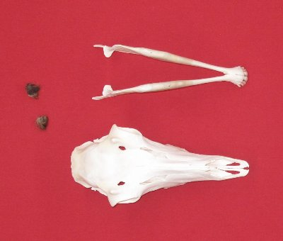 Picture of this lot Skulls - Antelope