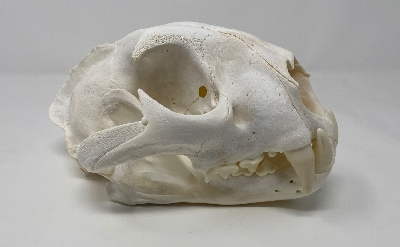 Picture of this lot Cougar Mountain Lion Skulls