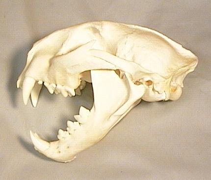 Cougar Mountain Lion Skulls for sale by www hideandfur com
