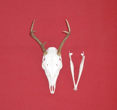 White Tail Deer Hides, Antlers, Skulls and Bones for sale by