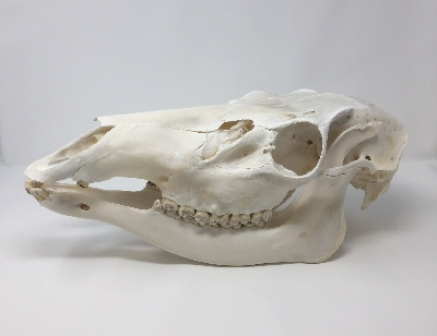 Picture of this lot Elk Skulls