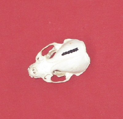 Picture of this lot Otter Skulls