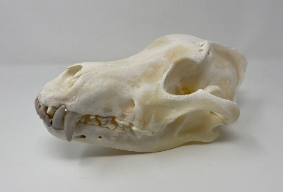 Picture of this lot Wolf Skulls
